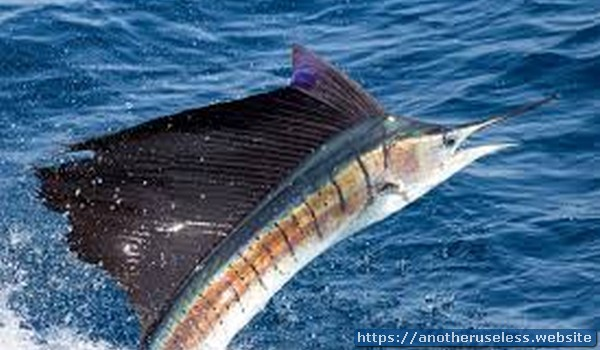 Sailfish can leap out of the water and into the air at a speed of 50 miles (81 km) per hour.